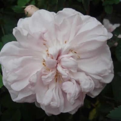 Rose Stanwell Perpetual (pimpinellifolia)  , barrotad