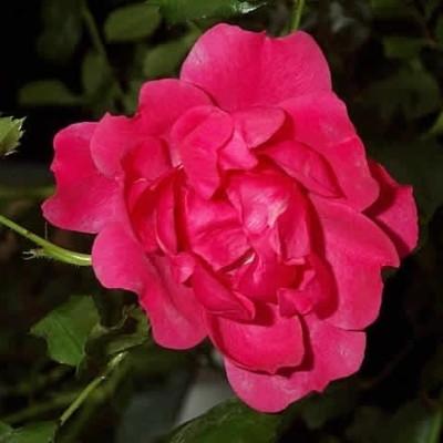 Rose Viking (bunddækkerose) , barrodet