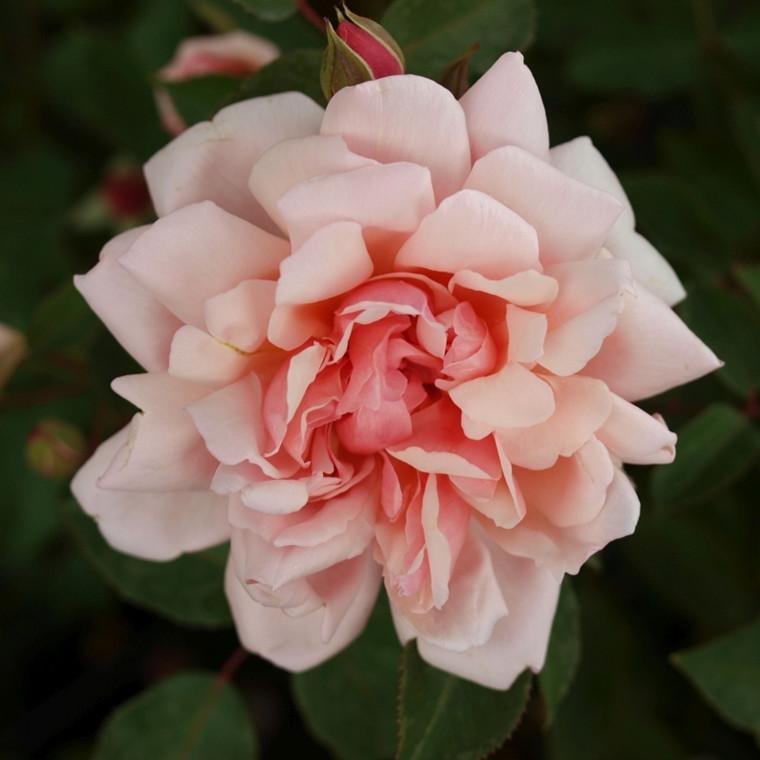 Rose 'Albertine' (historisk klatrerose - wichuraiana) barrodet