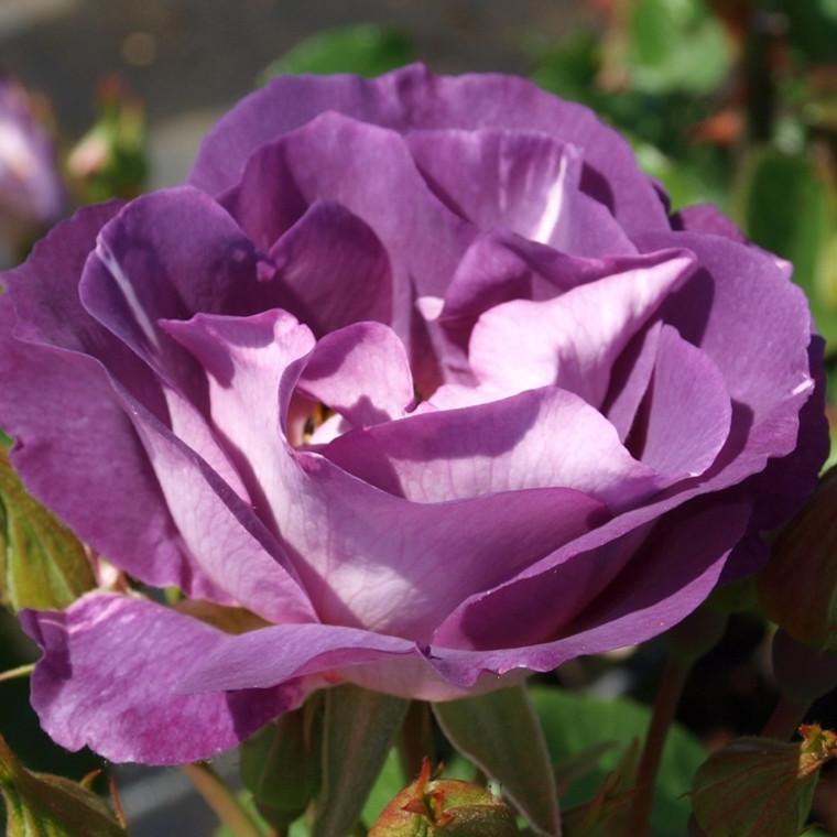 Rose 'Bernstein' (buketrose) barrodet