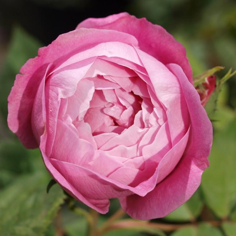 Rose La Reine Victoria (bourbon), barrodet