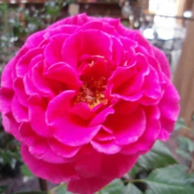 Rose Alexandra Renaissance (renaissance rose), barrotad
