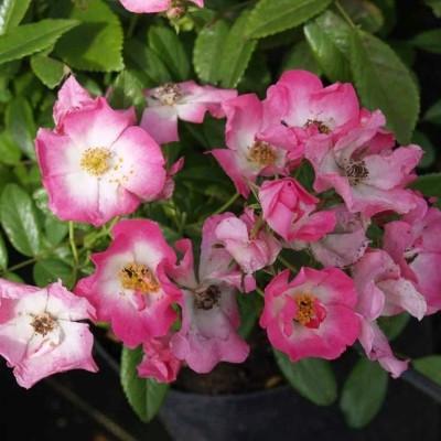 Rose 'American Pillar' (historisk klatrerose - wichuraiana) barrodet