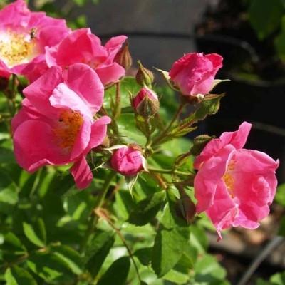 Rose 'Assemblages de Beautés' (historisk rose - gallica) barrodet