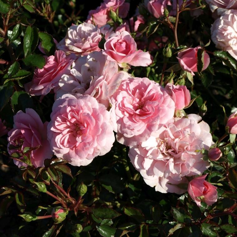 Rose 'Bonica 82'  (buketrose) barrotad