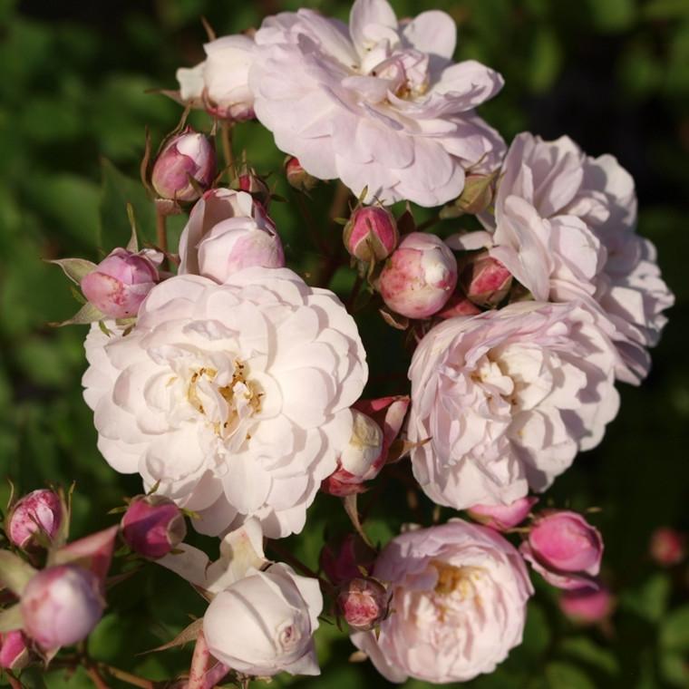Rose 'Blush Noisette' (Historisk buskrose  - Noisette) barrodet