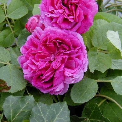 Rose 'Bourbon Queen' (Historiskrose - bourbon) barrodet