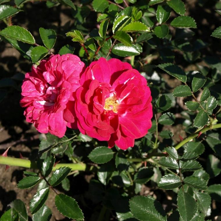 Rose 'Dorothy Perkins' (historisk klatrerose - wichuraiana) barrodet