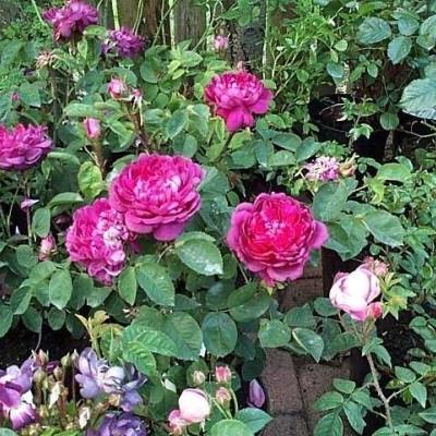 Rose 'Eugénie Guinoisseau' (historiskrose  - muscosa) barrodet