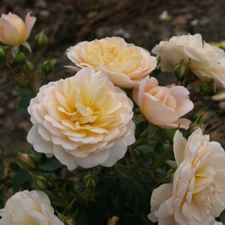 Rose' Crystal Palace' (buketrose) barrotad