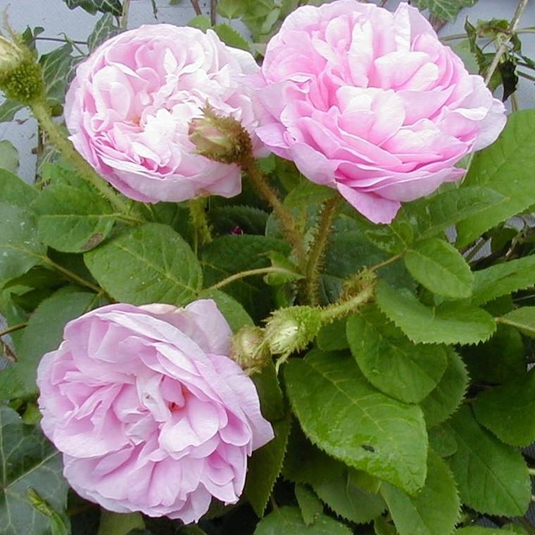 Rose Général Kléber (mosrose) , barrodet