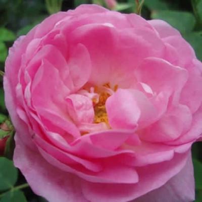 Rose Gloire de Guilan (damascener) , barrodet