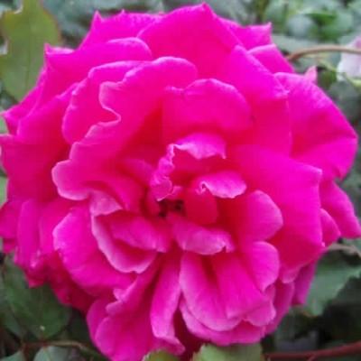 Rose Gruss an Teplitz (chinensis)  , barrodet