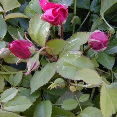 Rose Gruss an Teplitz (chinensis)  , barrotad