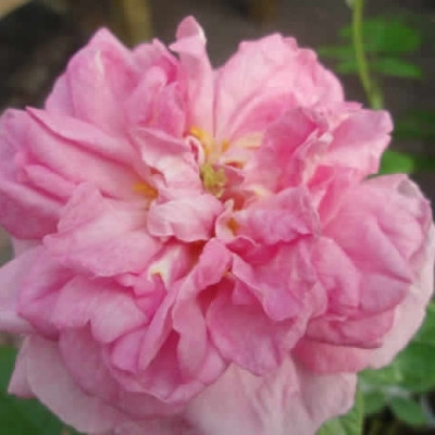 Rose Ispahan (damascener)  , barrotad