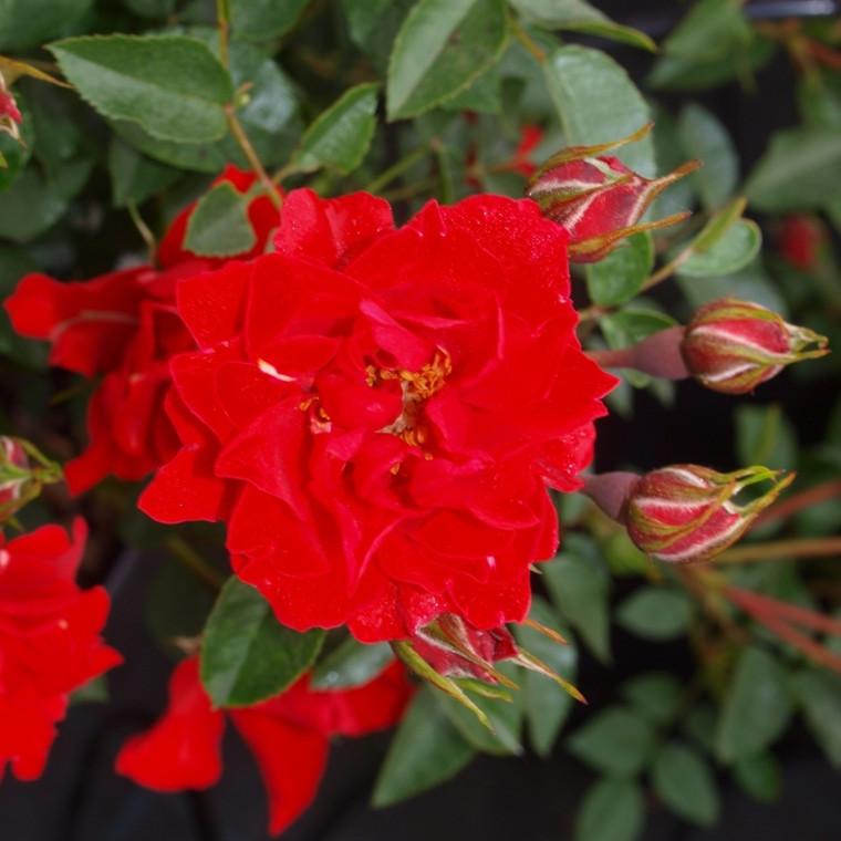 Rose Lady in Red (bunddækkerose), barrodet