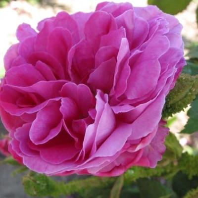 Rose Mousseaux du Japon (centifolia muscosa)  , barrodet