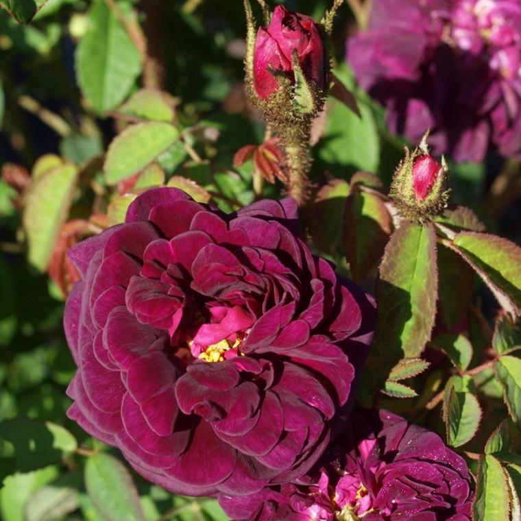 Rose Nuits de Young (centifolia muscosa)  , barrotad