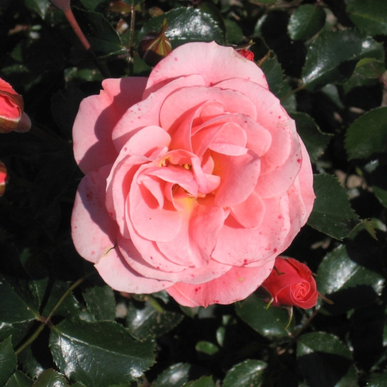 Rose 'Fredensborg' (buketrose) barrotad