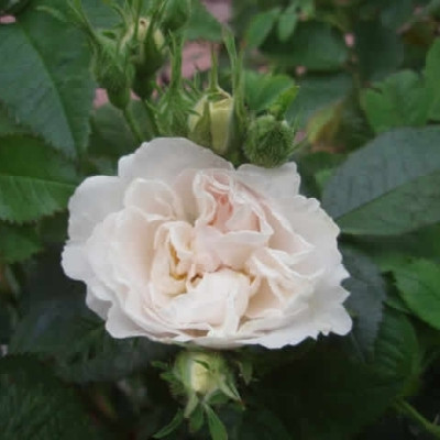 Rose Princesse de Lamballe (alba)  , barrotad