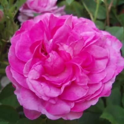 Rose Reine des Violettes (remontant)  , barrotad