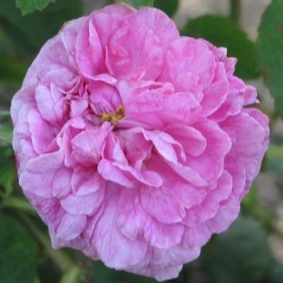 Rose 'Rose du Roi' (portland) barrotad