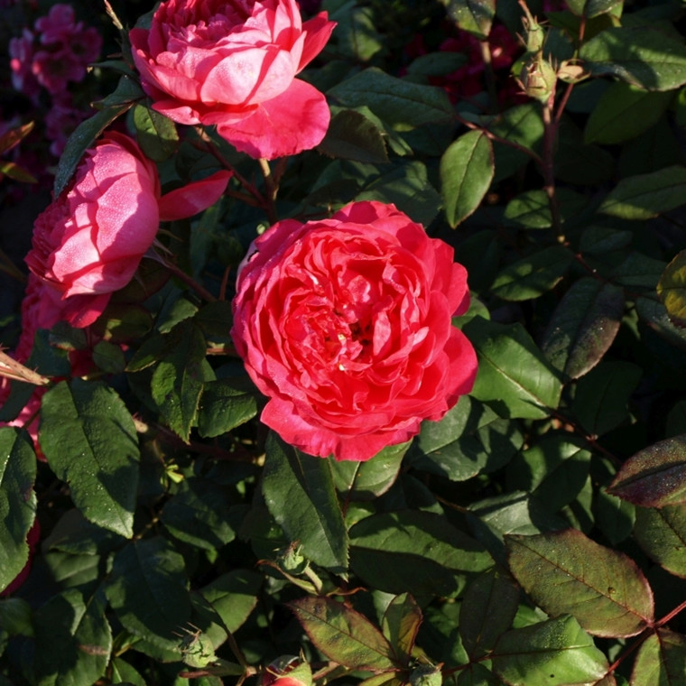 Rose 'Benjamin Britten' (engelsk rose) barrotad