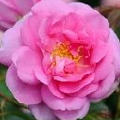 Rose Cariad (engelsk rose) , barrodet