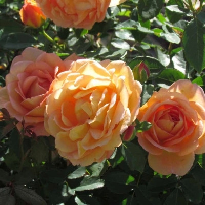 Rose Lady of Shalott (engelsk rose) , barrodet
