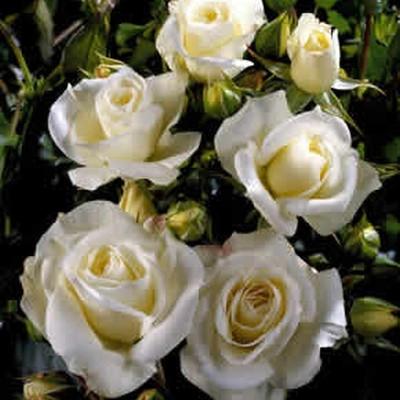 Rose Gråsten (buketrose) , barrotad