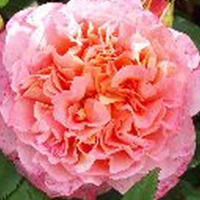 Rose 'Augusta Luise' (storblomstrende) barrodet