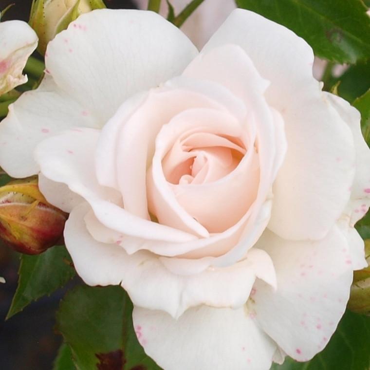 Rose Aspirin 'Rose' (bunddækkerose) barrotad