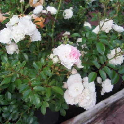 Rose 'Crystal Fairy' (White Fairy) (bunddækkerose) barrotad