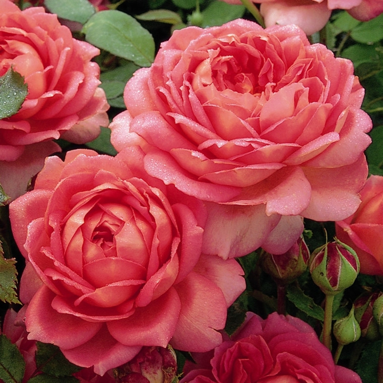 Rose Jubilee Celebration (engelsk rose) , barrodet