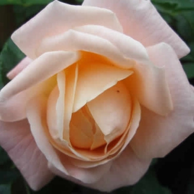 Rose Kalmar (buketrose) , barrotad