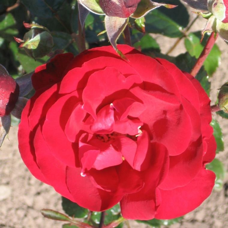 Rose Salling (buketrose)  , barrotad