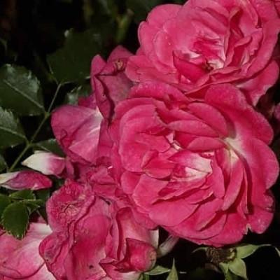 Rose Heidetraum (bunddækkerose) , barrodet