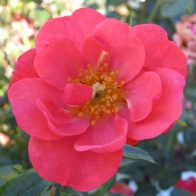 Rose Kirsch Cover (bunddækkerose) , barrodet