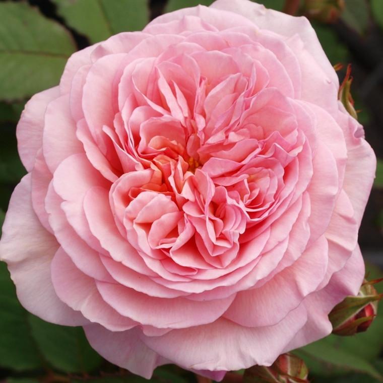 Rose 'A Shropshire Lad' (engelsk rose) barrodet