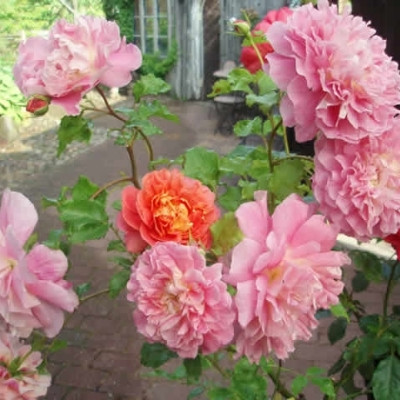 Rose Christopher Marlowe (engelsk rose) , barrodet