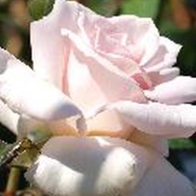 Rose 'A Whiter Shade of Pale' (storblomstrende) barrodet