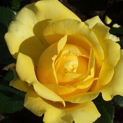Rose Marselisborg (buketrose) , barrotad