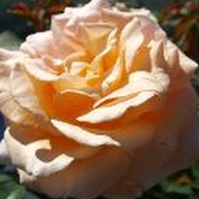 Rose Clodagh McGredy  (storblomstrende) , barrodet