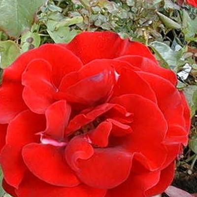 Rose Montana (buketrose)  , barrotad