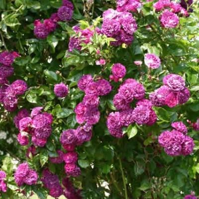 Rose 'Blue Magenta' (historisk klatrerose - multiflora) barrodet