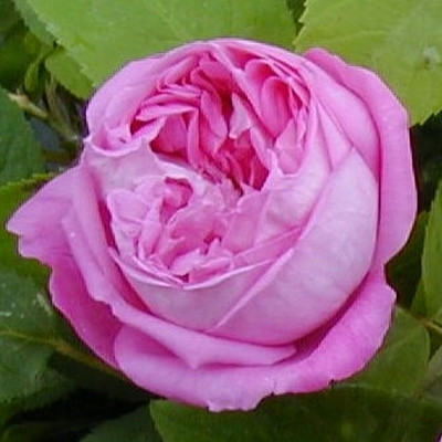 Rose 'Coupe d'Hébe' (bourbon)  barrotad