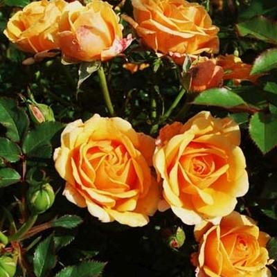 Rose 'Disco Tango' (slyngrose) barrodet