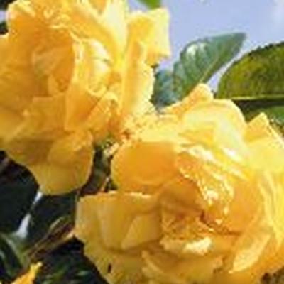 Rose Dukat (slyngrose), barrodet