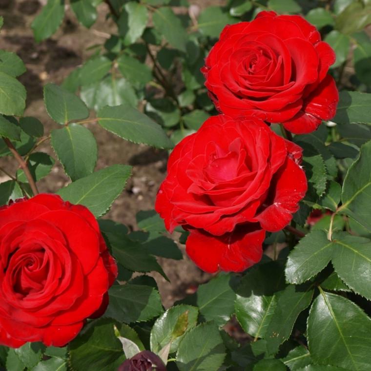 Rose 'Courage' (storblomstrende) barrodet
