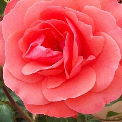 Rose Riberhus (buketrose) , barrotad